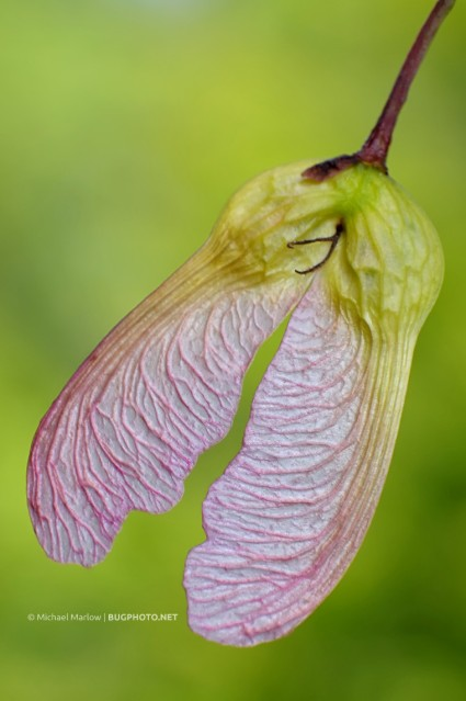 pink and yellow maple tree seeds