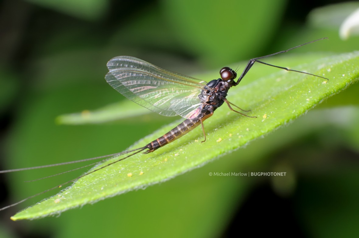 mayfly with dark red eyes at rest on leaf