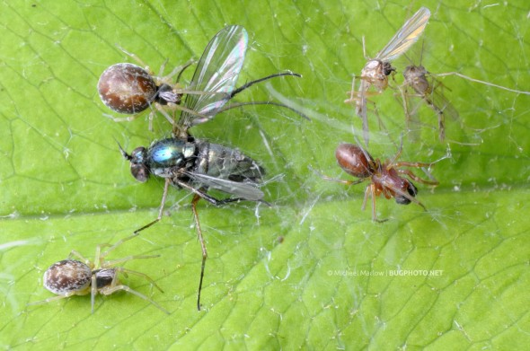 three dictyna mesh web weaver spiders in webbing with midge and longlegged fly prey