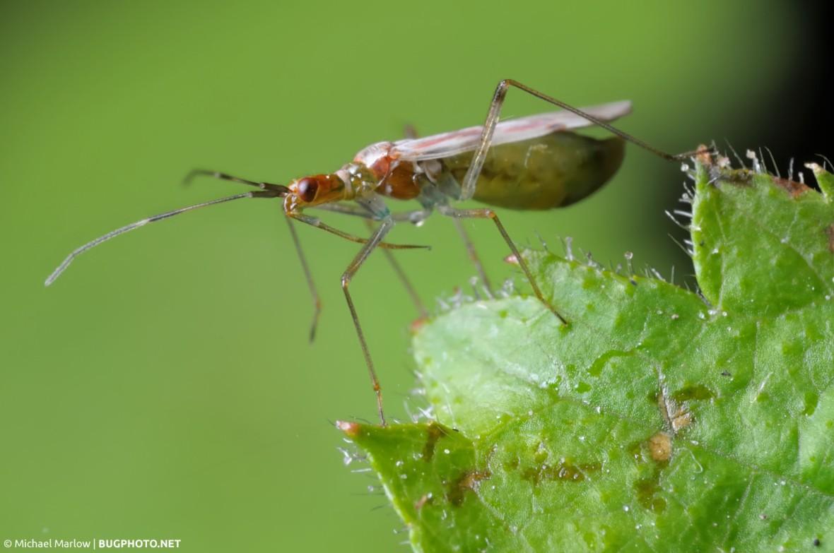slender mirid plant bug