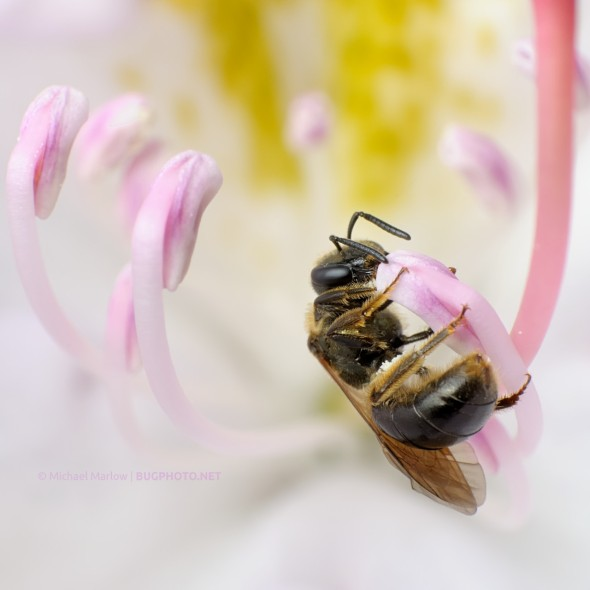sweat bee feeding on white rhododendron flower