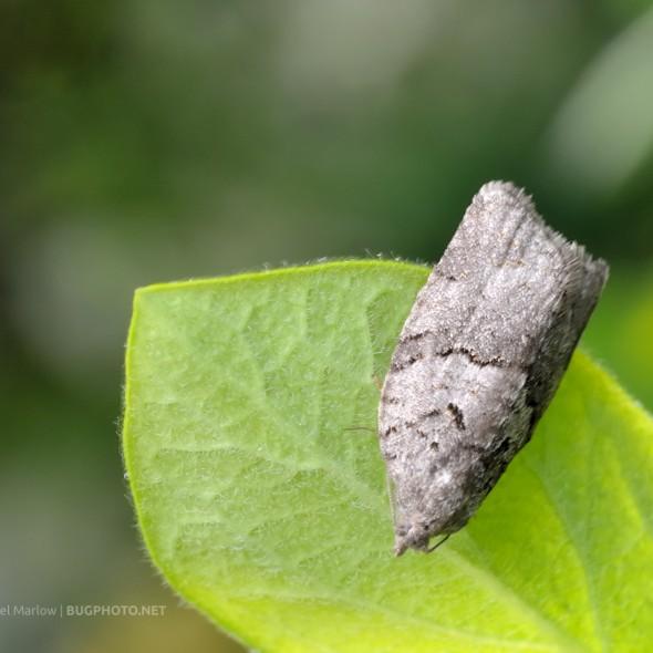 small gray moth on a leaf