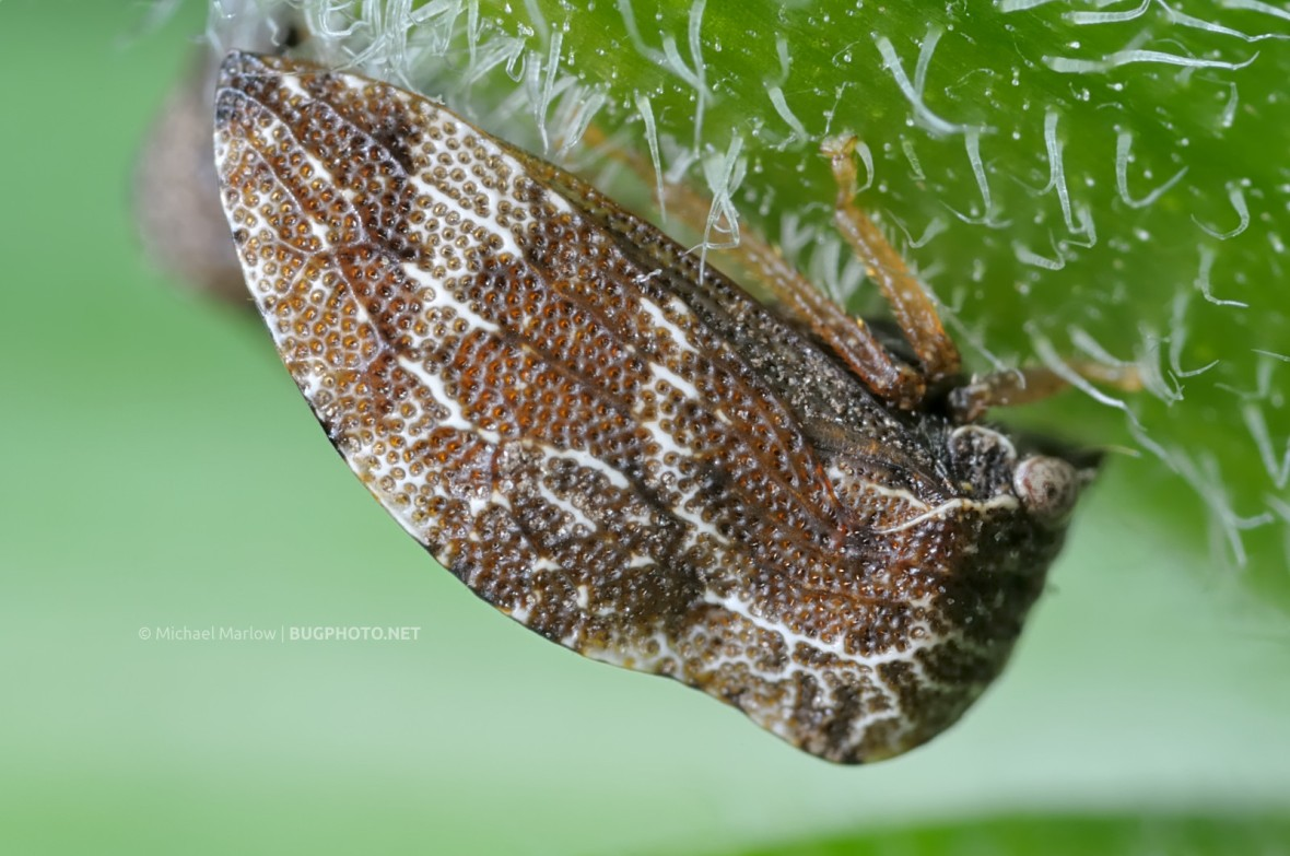 treehopper in profile