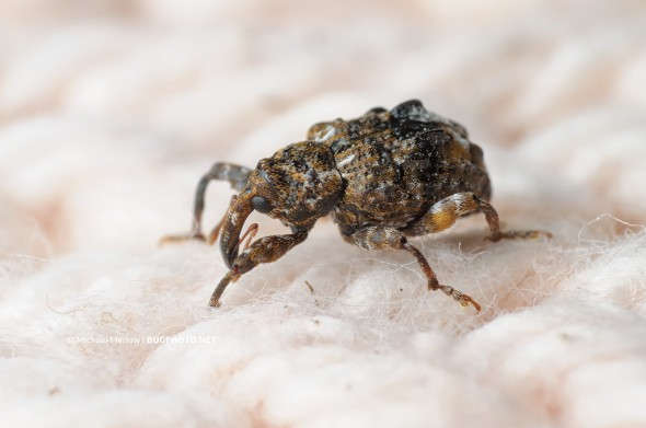 weevil on light-colored knitted fabric