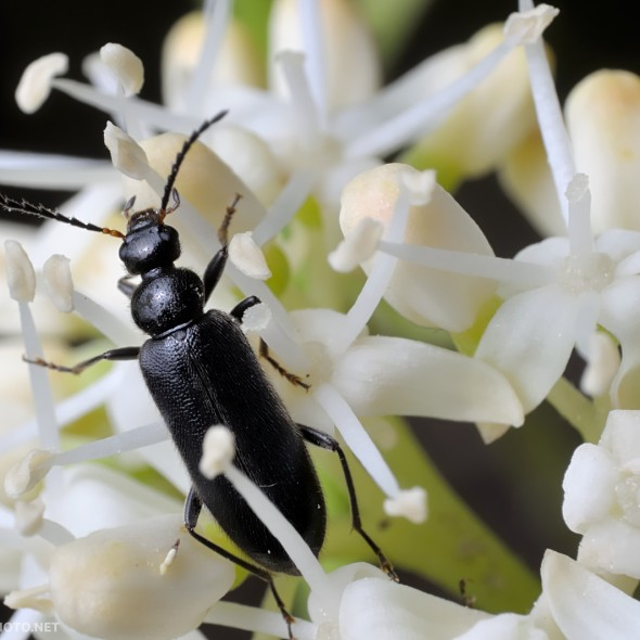 black beetle amidst cluster of white flowers