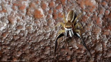 male Hentzia palmarym