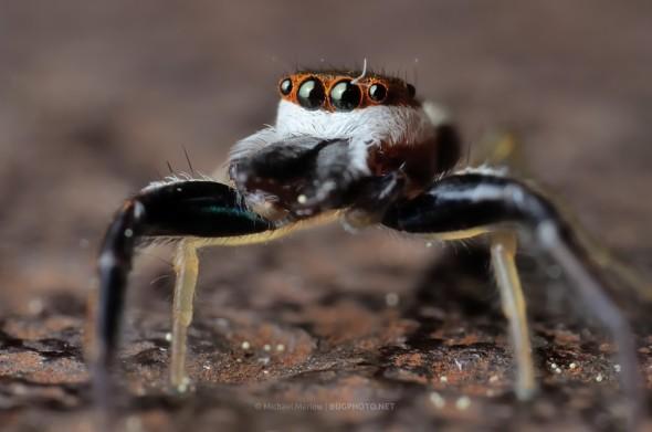 portrait of male Hentzia palmarum jumping spider