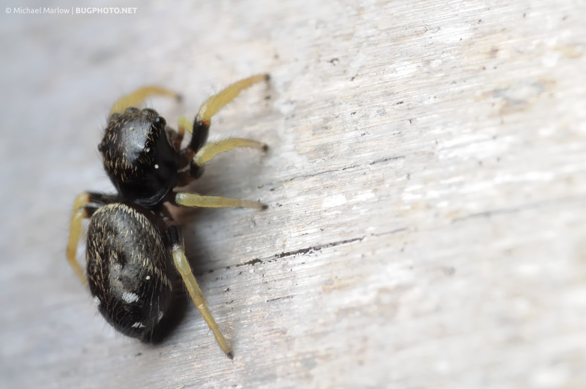 Backside Beauty (Jumping spiders)