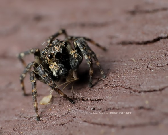 Sitticus pubescens jumping spider with prey