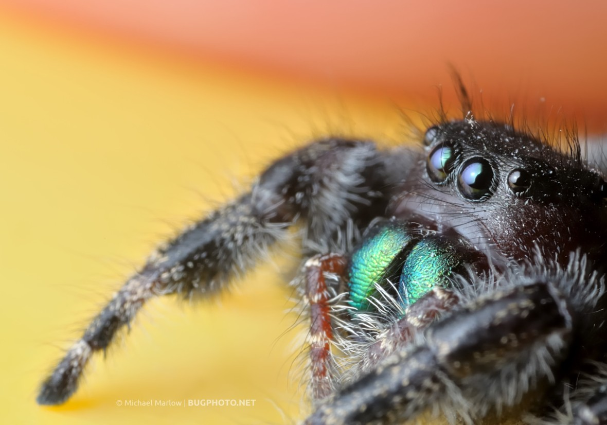 bright metallic green chelicerae of Phidippus audax jumping spider