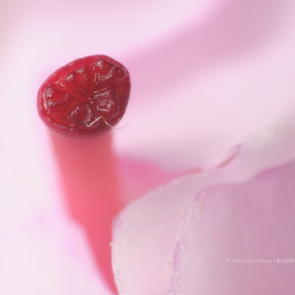 red stamen of pink rhododendron flower