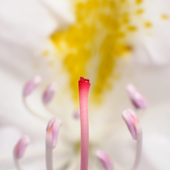 the stamen and anthers of a white rhododendron flower