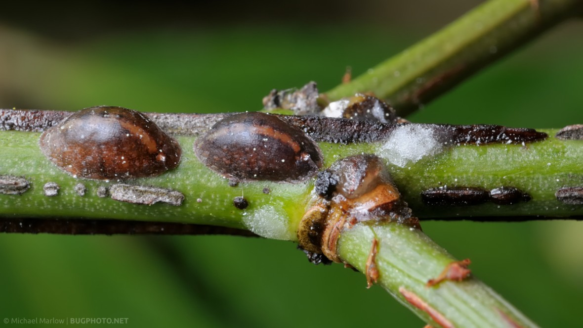 scale insects on plant stem
