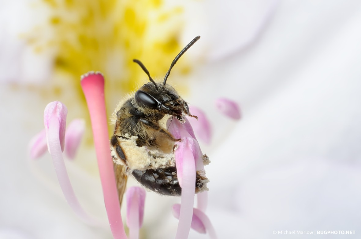 pollen-covered bee in white rhododendron flower