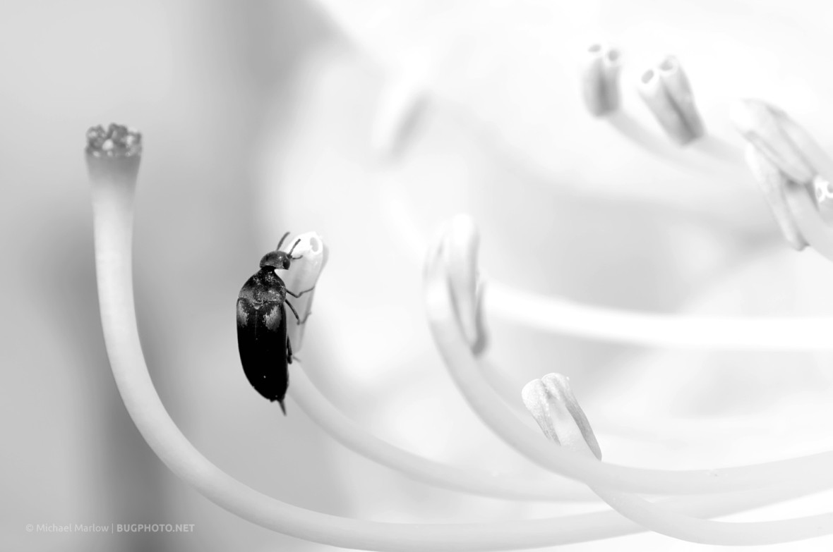 tumbling flower beetle on rhododendron anther (black and white)