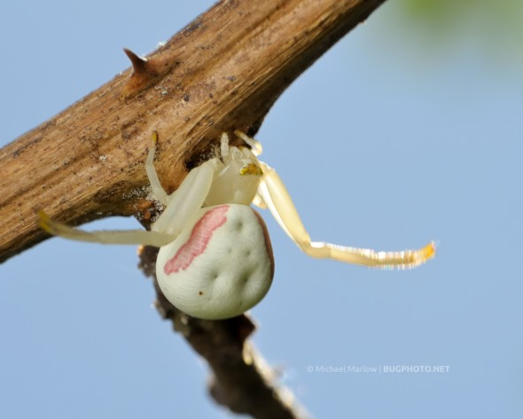 Goldenrod crab spider on a thorny branch.