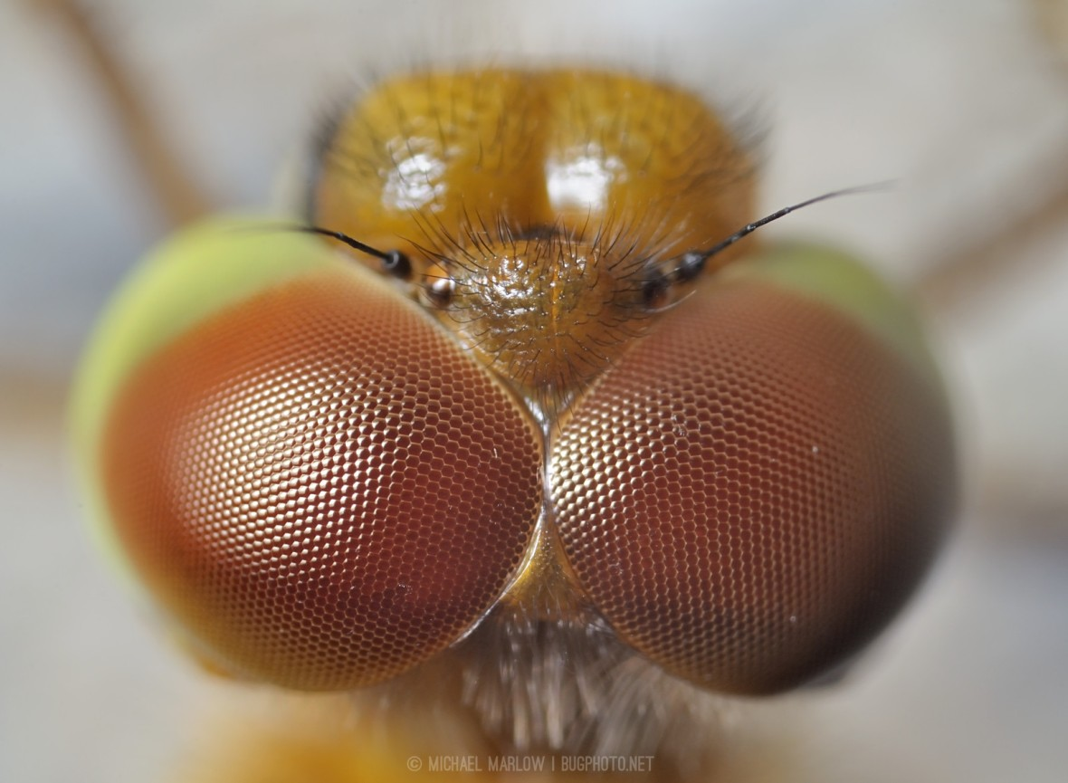 close up of lenses of meadowhawk dragonfly's compound eyes