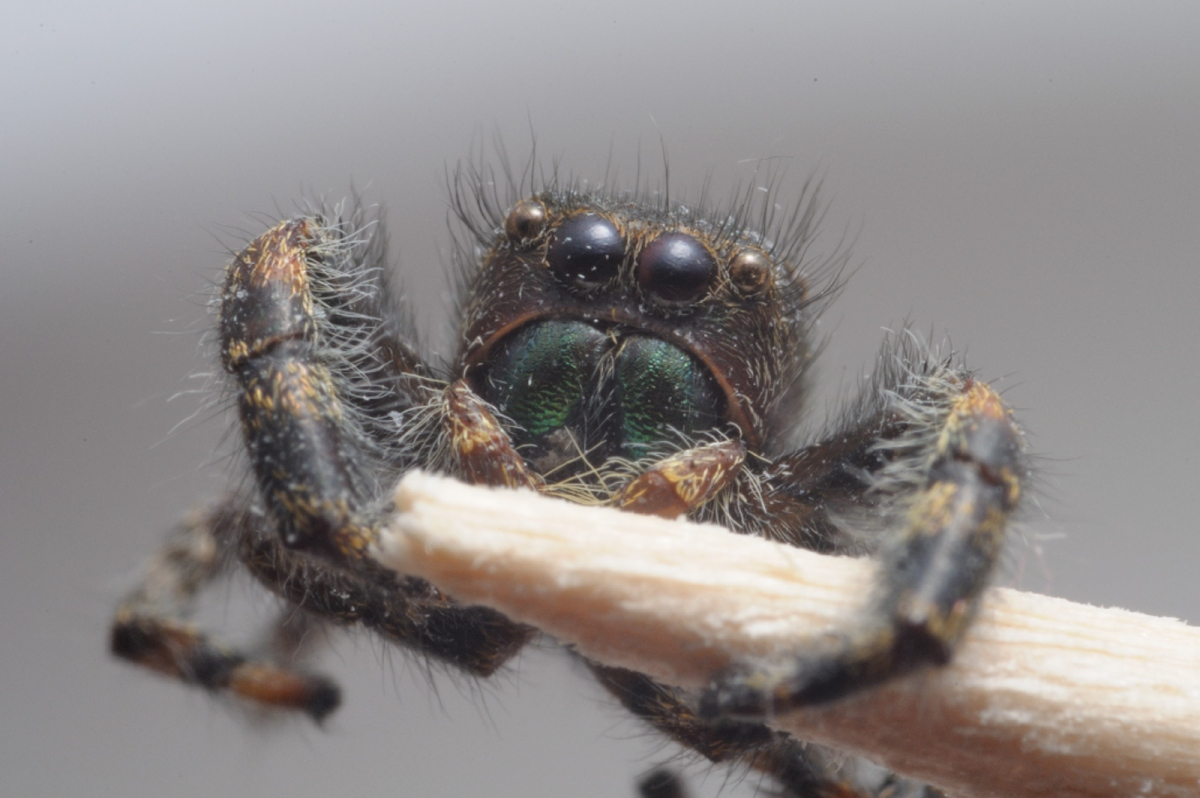 Meike MK-300 Speedlight and New Flash Diffuser: Initial Test (Jumping spider, etc.)