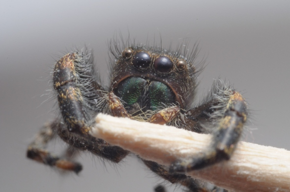 deceased jumping spider on toothpick