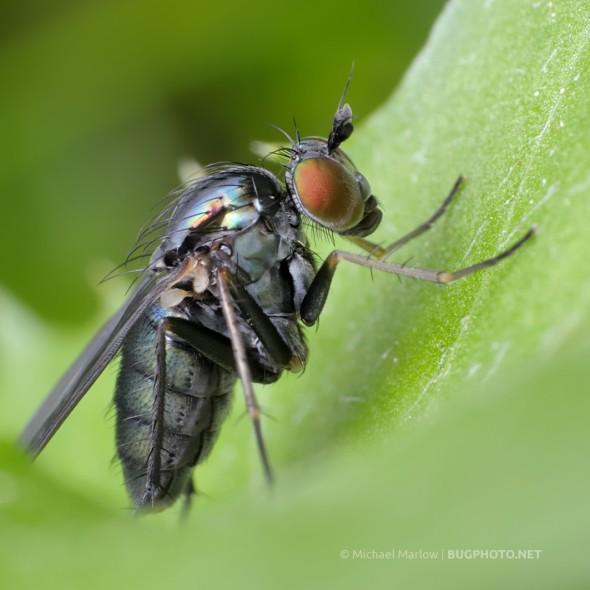 longlegged fly Dolichopodidae