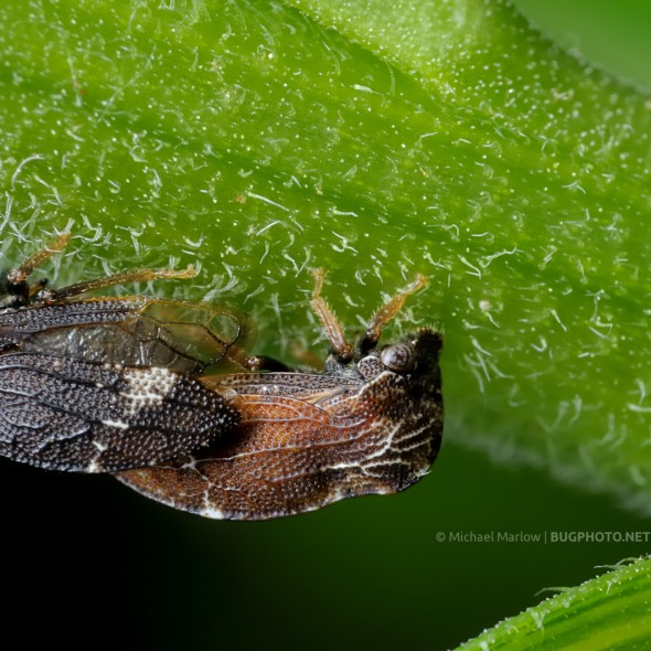 dark and light brown treehoppers mating