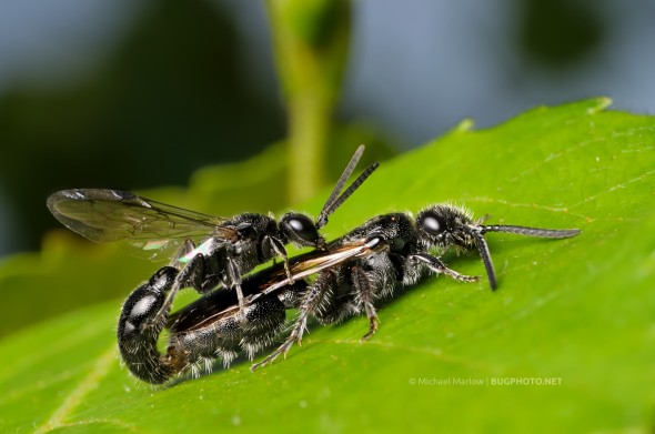 mating wasps possibly Tiphiidae