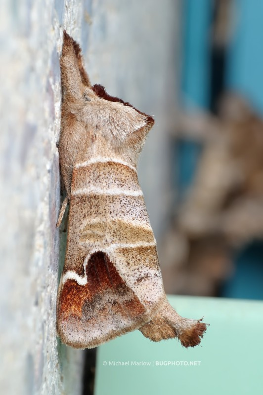 Clostera prominent moth at rest on stone wall
