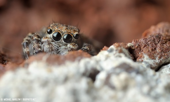 sitticus pubescens jumping spider nestled behind brick and mortar