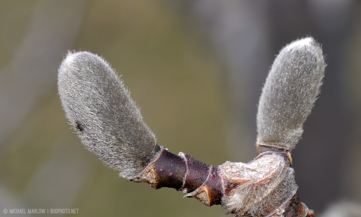 star magnolia buds Magnolia stellata