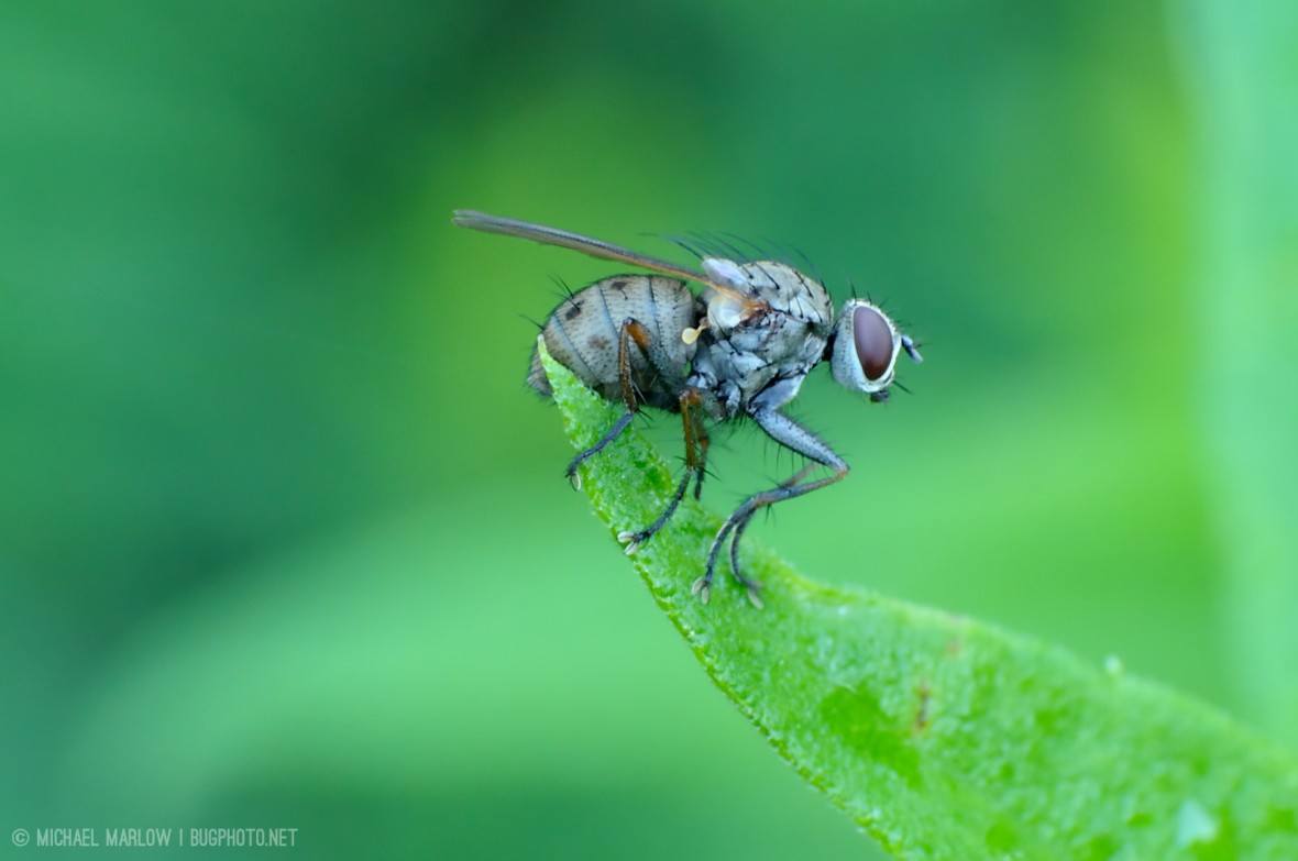 muscid fly on a leaf