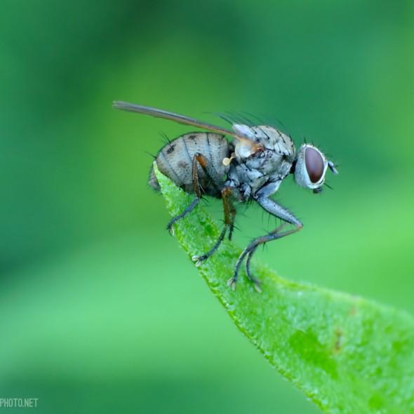muscid fly on a leaf