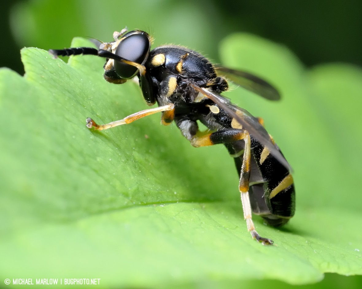 wasp mimic syrphid fly