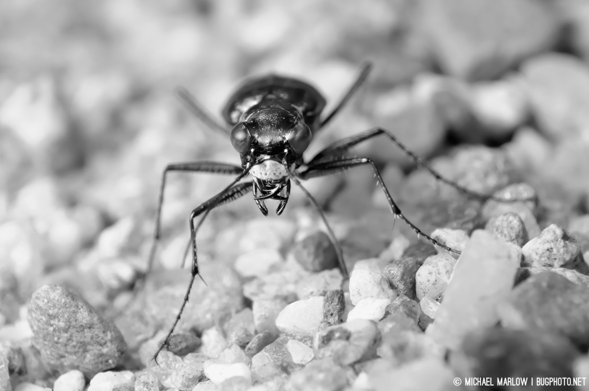 tiger beetle portrait black and white