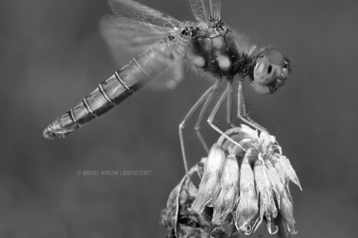 Eastern Amberwing Dragonfly (Perithemis tenera) perched on a withered clover flower. (Black and white)