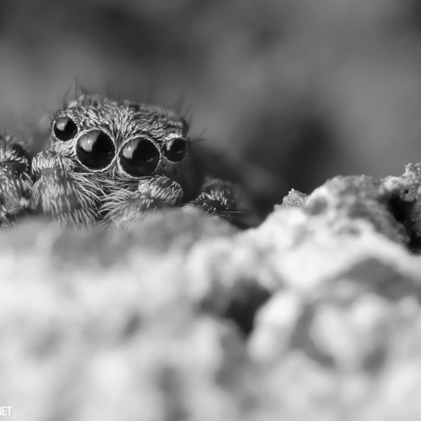 Jumping spider (Sitticus pubescens) hiding in the crags of a brick. (Black and white)