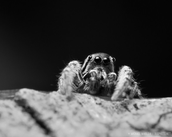 jumping spider in black and white