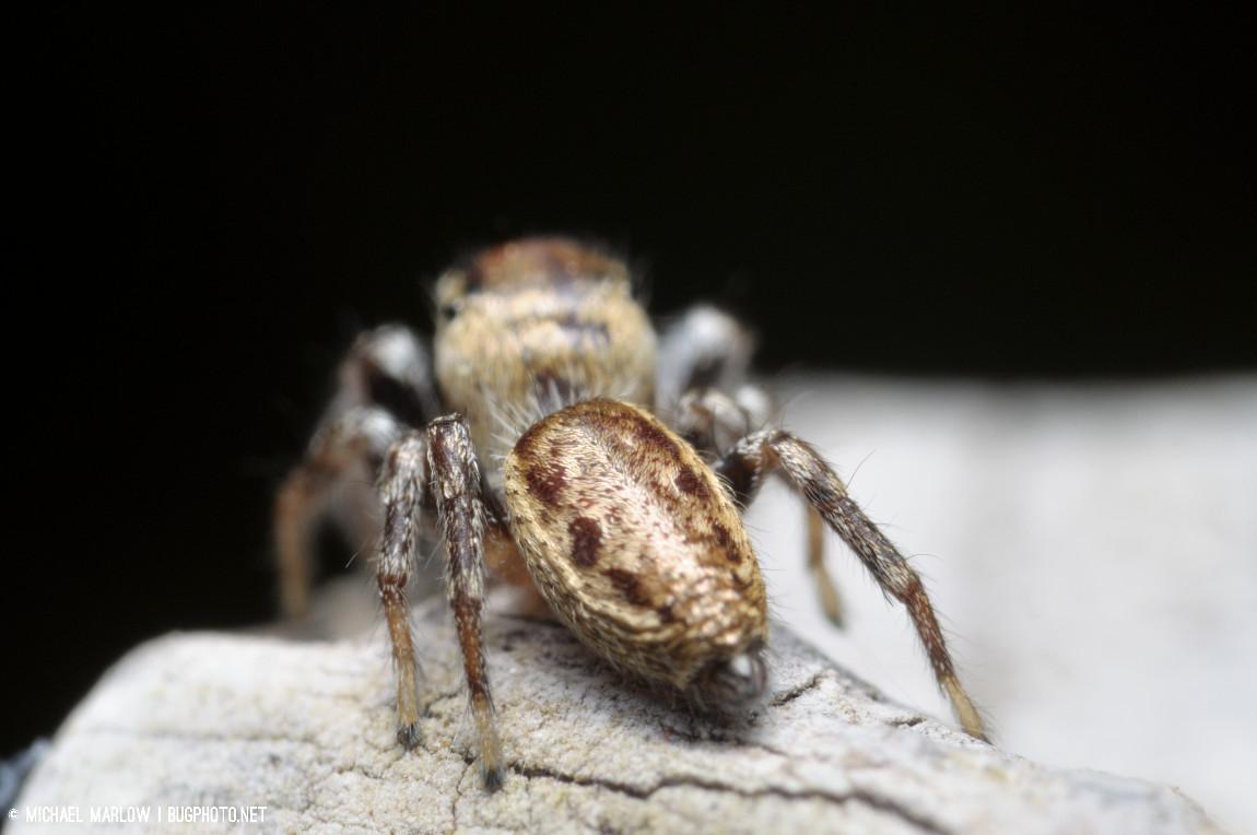 abdomen of jumping spider