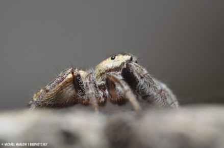 lateral view of jumping spider