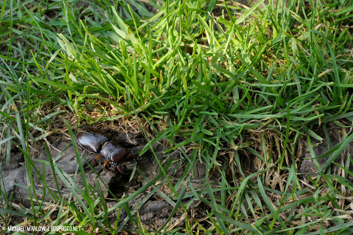 stage beetle in the grass