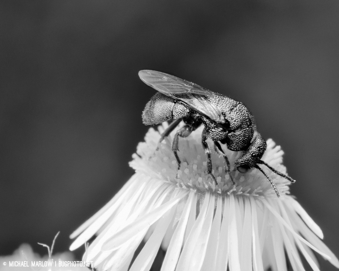 Cuckoo wasp (Chrysididae) on a flower in Black and white