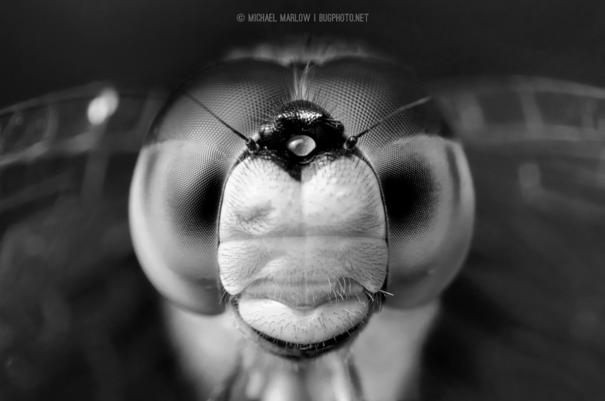 dragonfly face in black and white