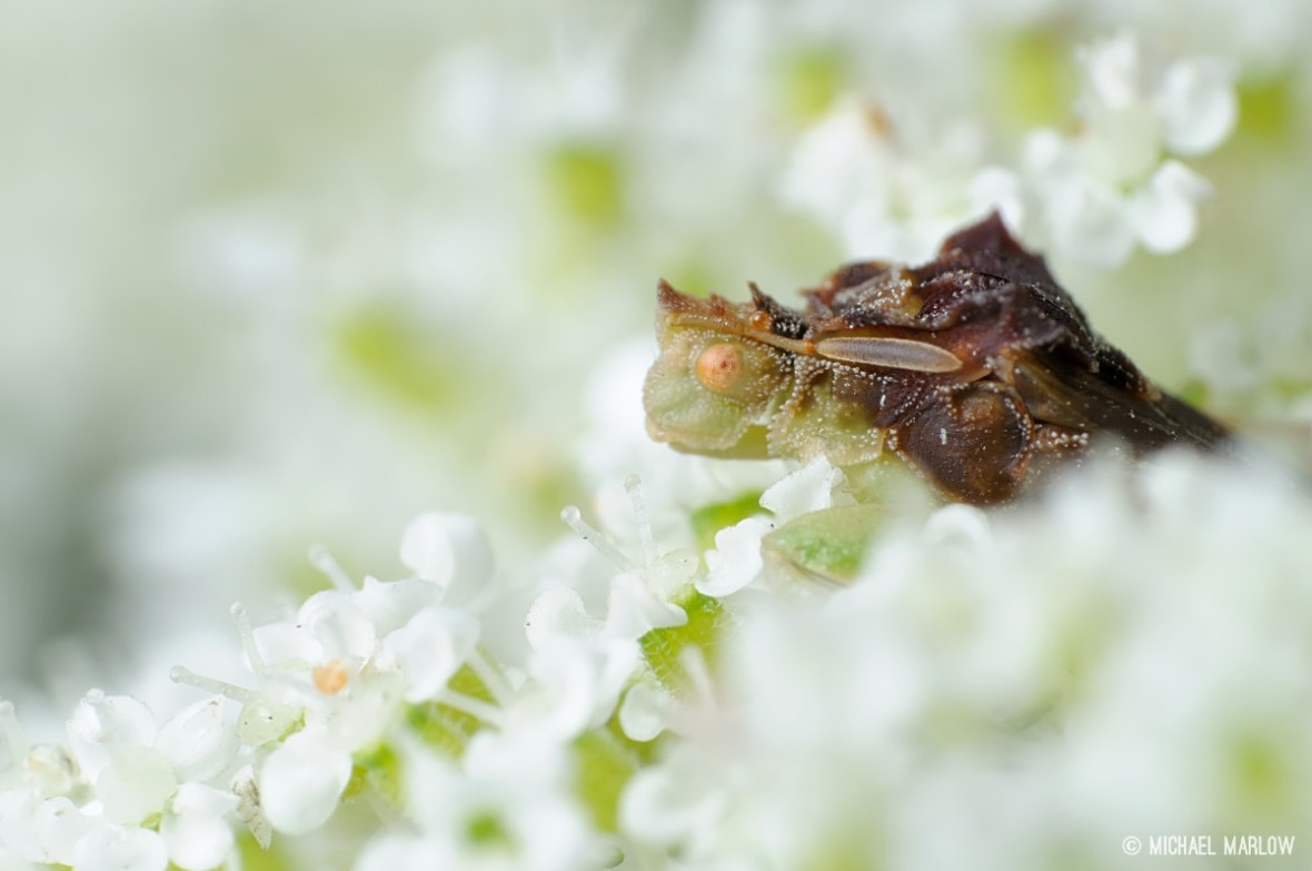 ambush bug phymata on queen anne's lace flowers