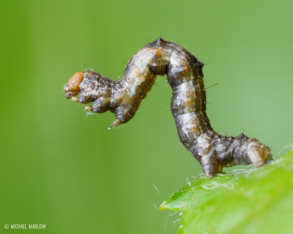 a real stand up bug caterpillar geometridae u2013 bugphoto net