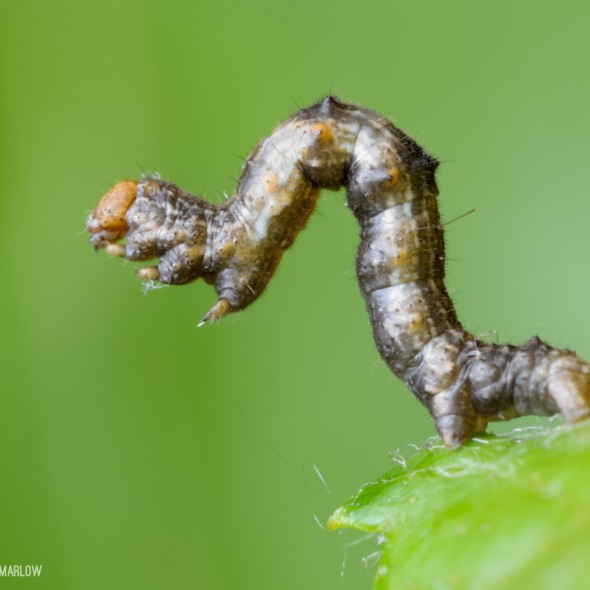 inchworm standing on prolegs