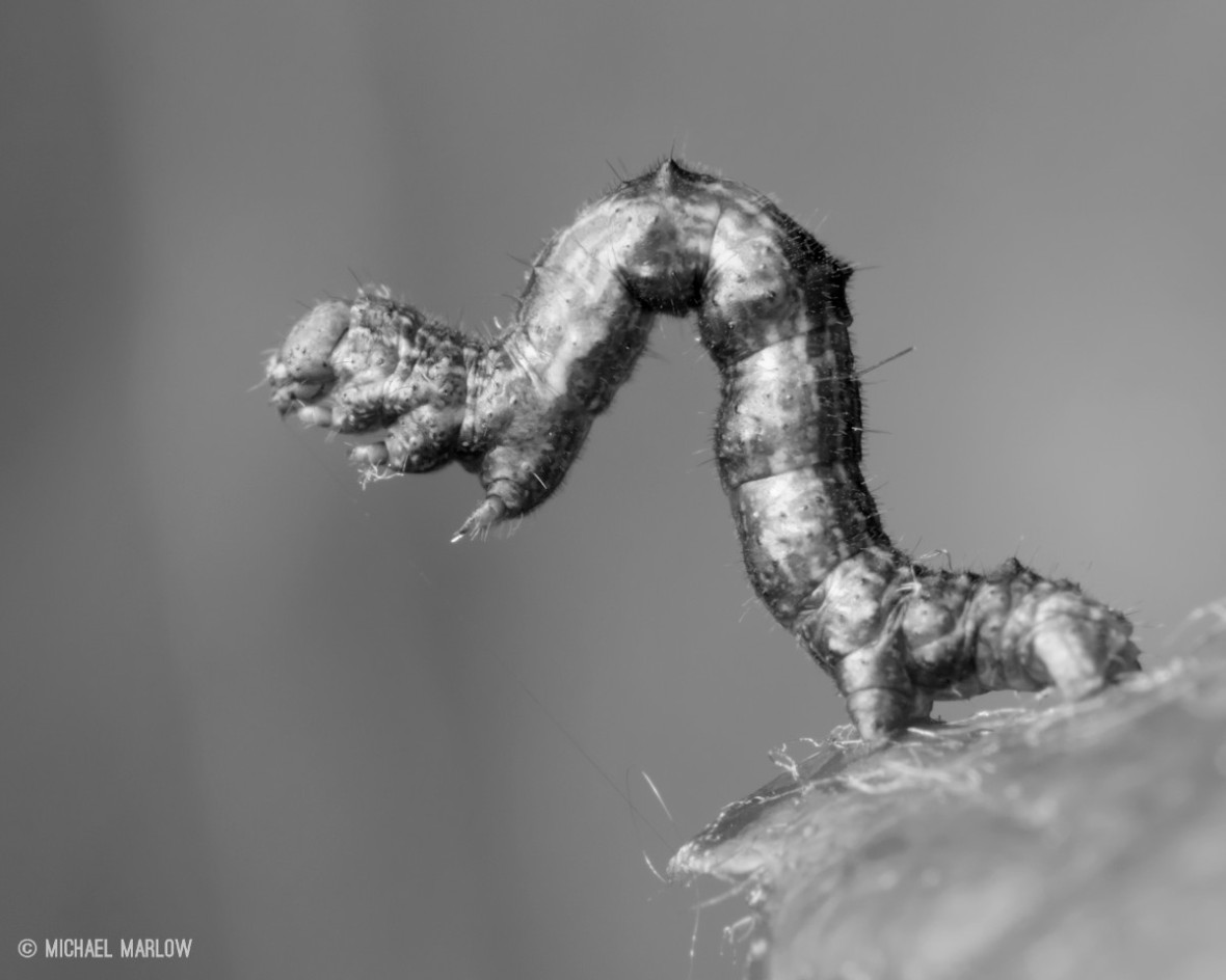 inchworm standing on prolegs in black and white