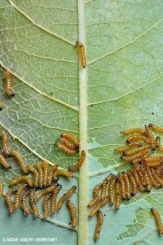 caterpillar aggregation eating a leaf