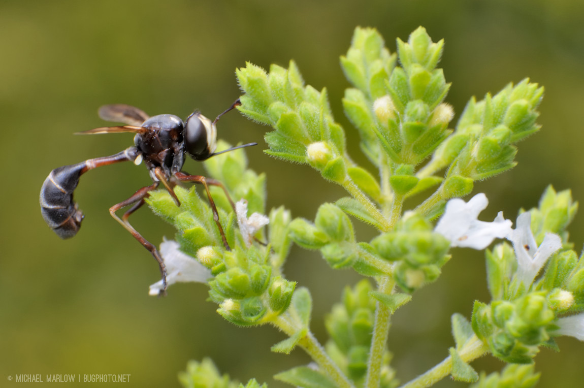 thick-headed fly on hot oregano