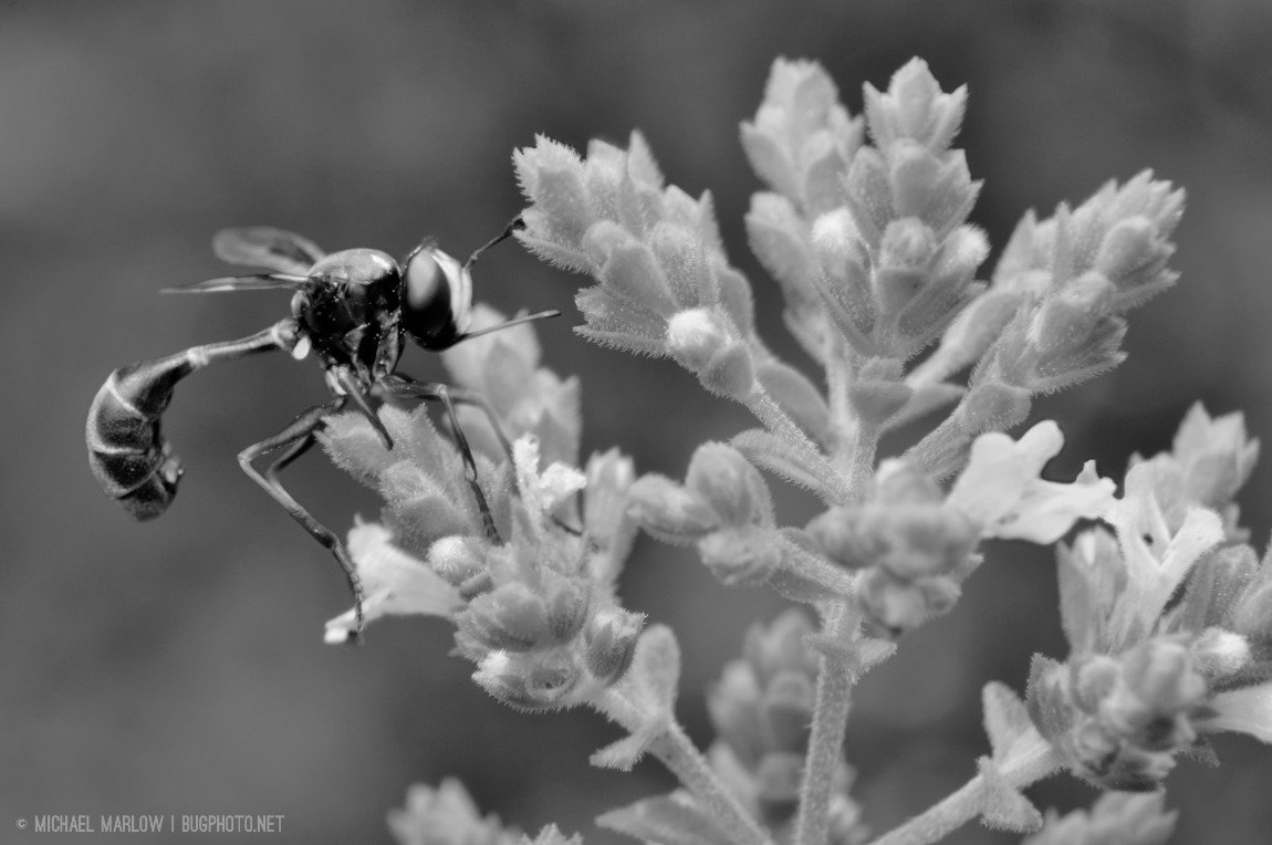 thick-headed fly on hot oregano in black and white