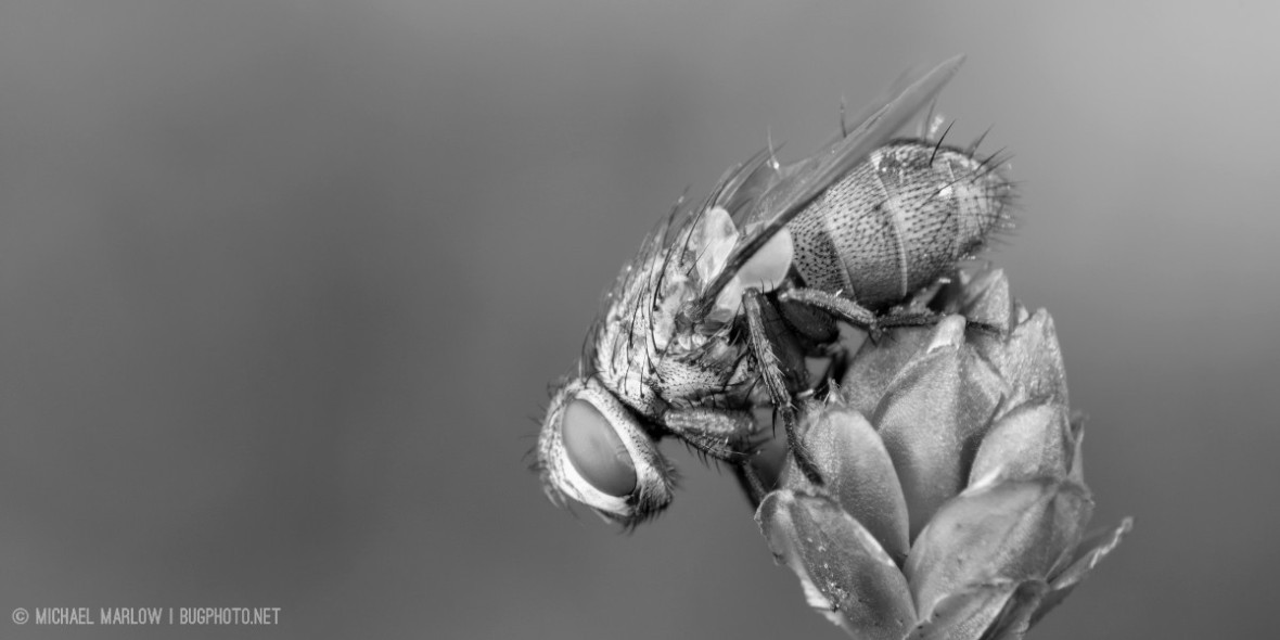 A perched fly. black and white.