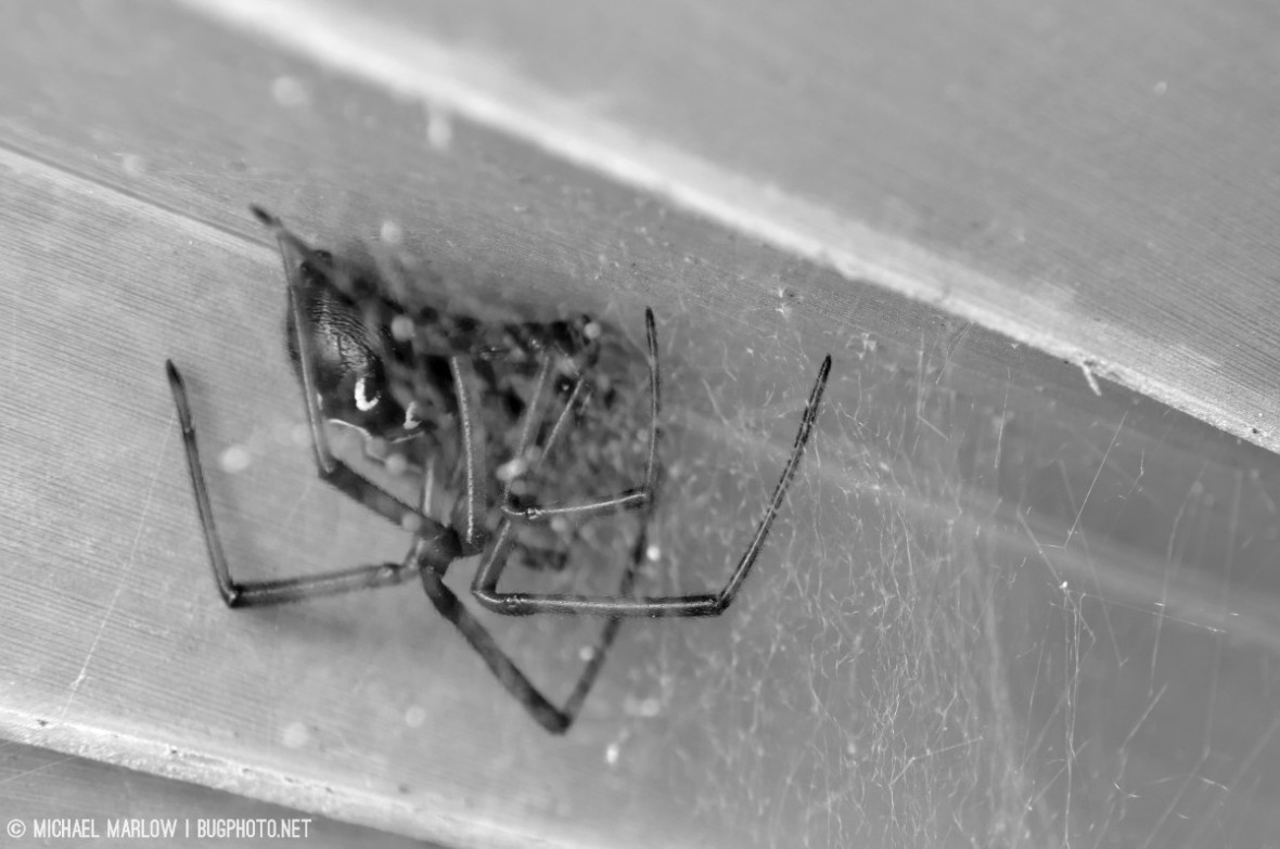 red widow spider Latrodectus bishopi on palm scrub frond in black and white